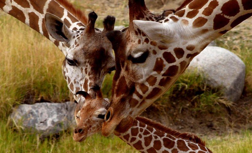 Giraffe-small-cub-parental-love-animals-of-Africa-HD-Wallpaper-2880x1800