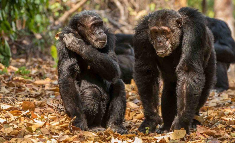 tanzania-chimpanzee-by-richard-denyer-8